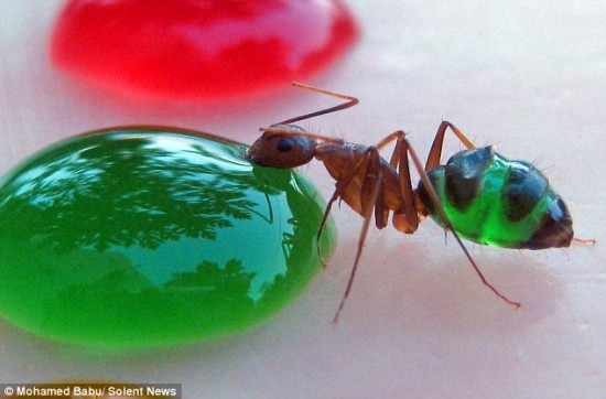 Psychedelic Ants