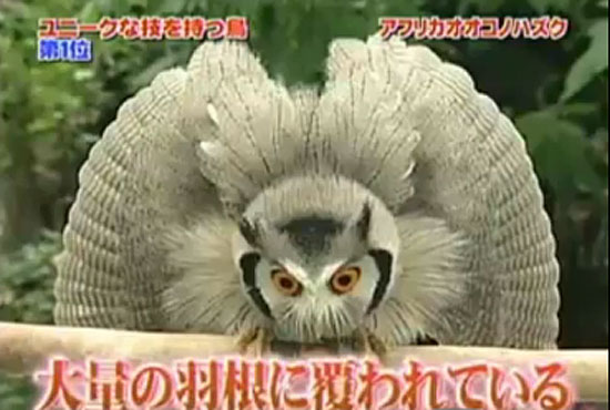 Transformer Owl video