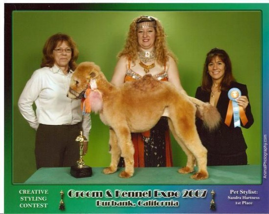 Sandra Hartness poodle stylist and Camel Dog