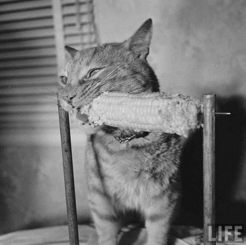 Cat Eating Corn on the Cob, 1951