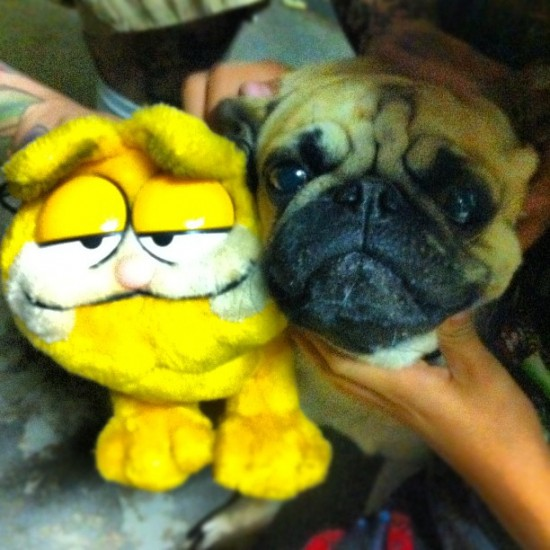 A pug and a Garfield plush? Double awww... Photo by @luluamy