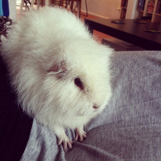 Numan the guinea pig showing his piano hands. Photo by @alittlestranger.