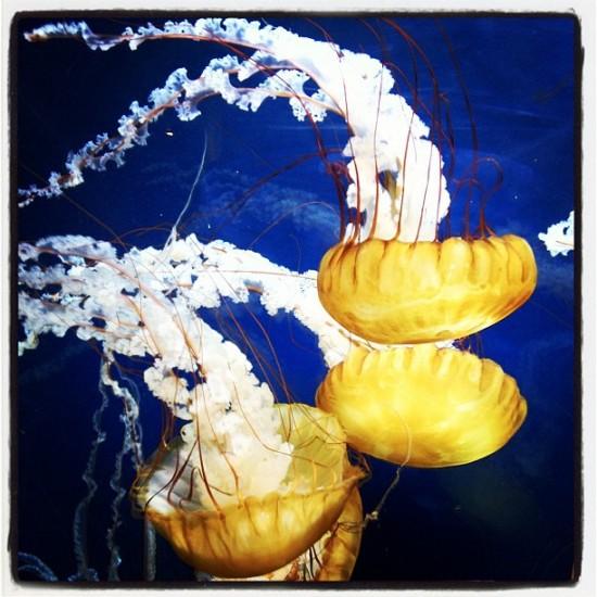 Gorgeous jellyfish @AquariumOtheBay. Photo by @jeremyriad.