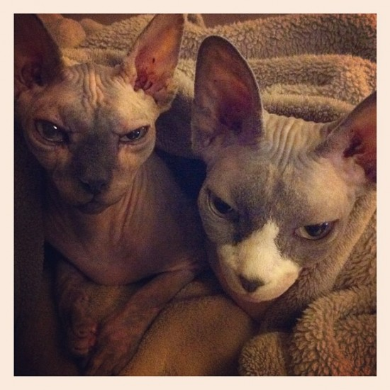Hairless cat buddies living with @masao626_.