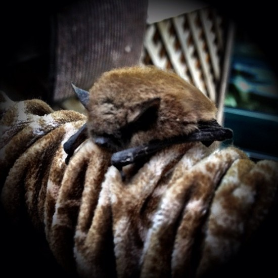 The cat dragged in a BAT. An Adorable BAT. Photo by @stickerobot.