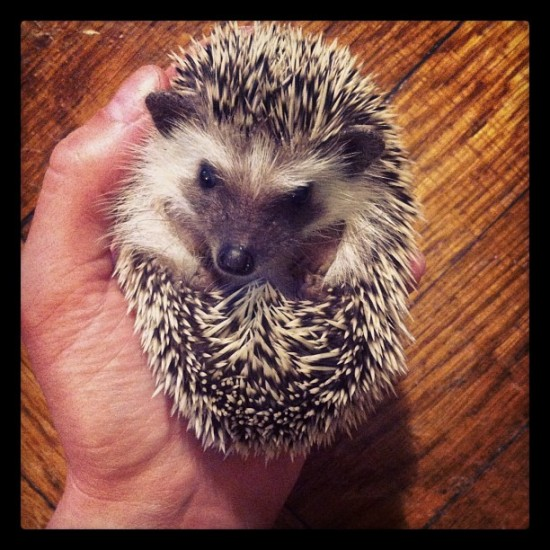 Is this real life? Hedgehog photo by @allisonsommers.