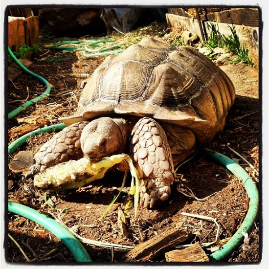 16-year old tortoise named Chuck. Loves corn. Photo by @jeremyriad.