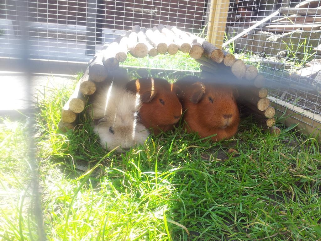 guineas